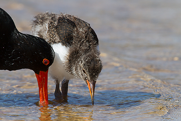 Pied Oystercatcher and chick