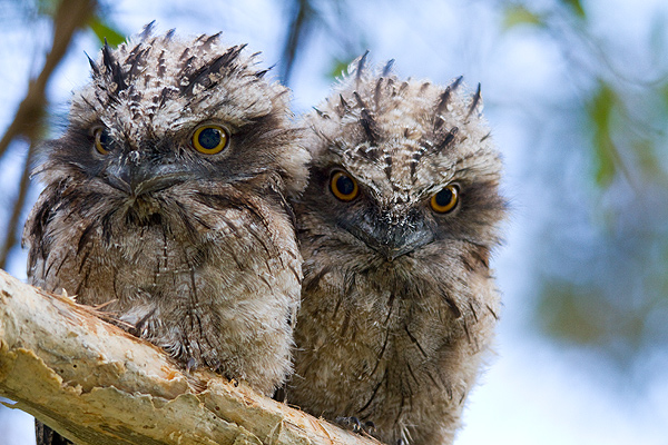 Juvenile Tawny Frogmouths