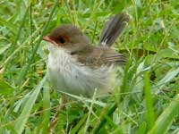 Superb Fairy Wren (juv)