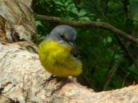 Eastern Yellow Robin (juv)