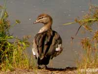 Woodduck (female)