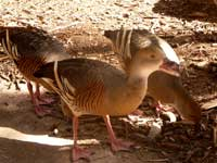 Plumed Whistling Ducks