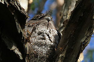 Tawny Frogmouth & juvenile