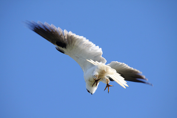 Black-shouldered Kite