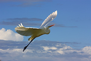 Intemediate Egret