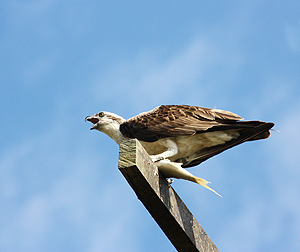 Osprey male