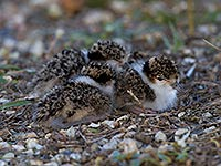Masked Plover chicks