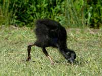 Purple Swamphen chick