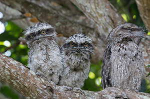 Tawny Frogmouth chicks with dad