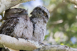 Tawny Frogmouth chick with mum