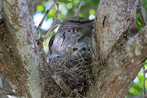 Tawny Frogmouth chicks