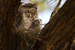 Tawny Frogmouth nest