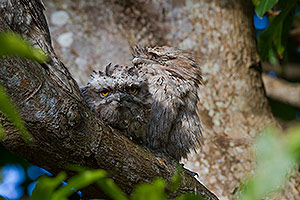 Tawny Frogmouth dad & chick