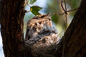 Tawny Frogmout on nest