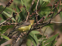 White-throated Gerygone (juv)