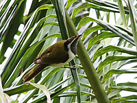 Blue-faced Honeyeater (juv)