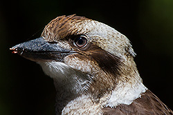 Juv Laughing Kookaburra