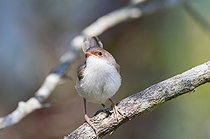Superb Fairy-wren chick