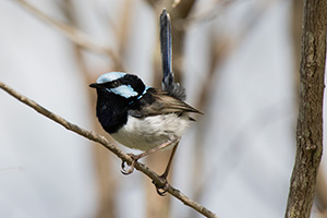 Superb Fairy-wren breeding adult