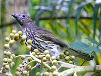 Figbird (female)