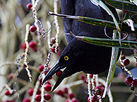 Pied Currawong