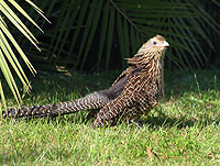 Coucal Pheasant