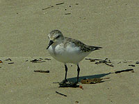 Redcapped Stint