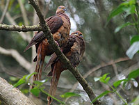 Brown Cuckoo-doves