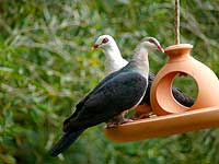 White-headed Pigeon (female)