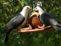 White-headed Pigeons