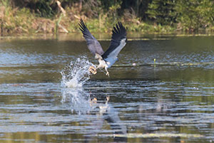 White-bellied Sea-eagle with turtle