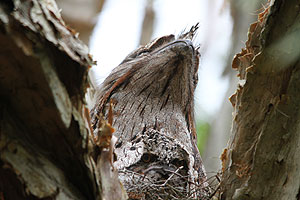 Tawny Frogmouth & juvenile in nest