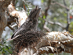 Tawny Frogmouth (female breeding)