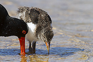 Pied Oystercatcher & chick