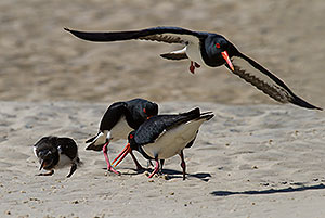 Pied Oystercatcher family