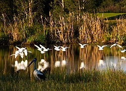 Black-necked Stork & Egrets