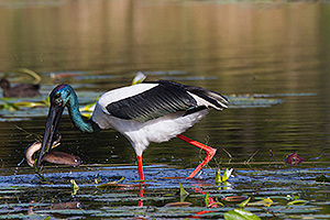 Black-necked Stork with a large eel