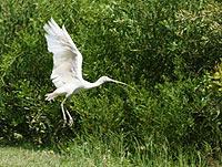White-billed Spoonbill