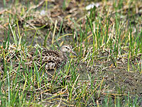 Sharp-tailed Sandpipers