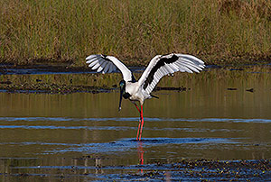 Black-necked Stork dance
