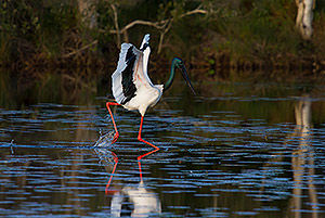 Black-necked Stork dancing